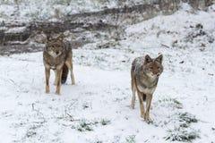 在冬天风景的两头土狼 库存图片