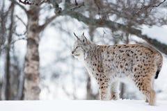 在冬天风景的天猫座 免版税库存照片