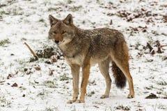 在冬天风景的孤立土狼 免版税图库摄影