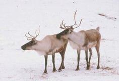 在冬天风景的森林地北美驯鹿 免版税图库摄影