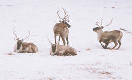 在冬天风景的森林地北美驯鹿 免版税库存照片