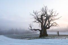 在冬天风景的老橡树与雾 Mollestadeika 其中一个最大的橡树在挪威 免版税库存照片