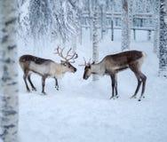 在冬天风景的驯鹿 免版税库存照片