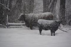 在冬天风暴期间的母牛 图库摄影