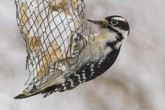 在冬天风暴的长毛的啄木鸟 免版税库存照片