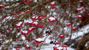 在冬天,在期间降雪,一棵荚莲属的植物的分支用红色莓果从风暴摇摆,背景被弄脏 影视素材