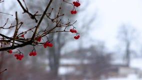 在冬天,在期间降雪,一棵荚莲属的植物的分支用红色莓果从风暴摇摆,背景被弄脏 股票录像
