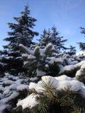 在冬天,雪花美妙地紧贴了对圣诞树分支 好新年精神 库存照片