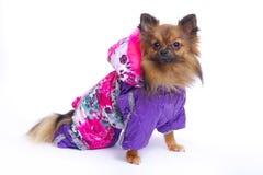 在冬天总体的坐的德国波美丝毛狗 免版税库存图片