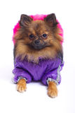 在冬天总体的说谎的德国波美丝毛狗 库存图片