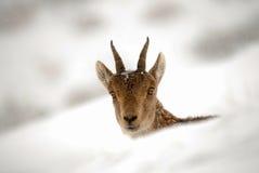 在冬天gredos的石山羊 库存照片
