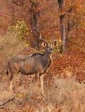 在冬天mopane草原的Kudu公牛 免版税库存图片