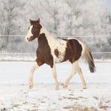 在冬天pasturage的华美的油漆马公马 免版税库存图片