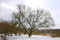 在冬时的偏僻的树 库存照片