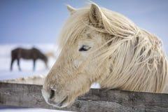 在冬时的冰岛马 免版税库存照片