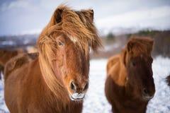 在冬时的冰岛马 库存图片