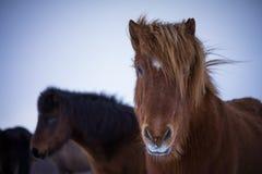 在冬时的冰岛马 免版税图库摄影