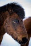 在冬时的冰岛马 免版税库存图片