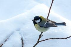 在冬时的北美山雀鸟 库存照片