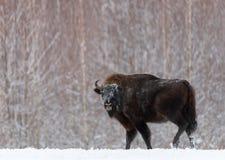 在冬时的庄严强有力的成人野牛欧洲野牛,白俄罗斯 狂放的欧洲木北美野牛,公牛男性 从natu的野生生物场面 免版税库存图片