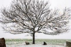在冬时的老光秃的橡树 免版税图库摄影