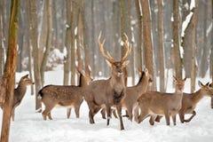 在冬时的鹿 库存照片