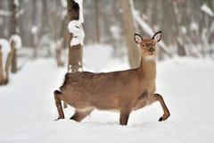 在冬时的鹿 图库摄影