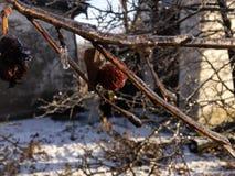 在冬景花园的干苹果 免版税库存照片
