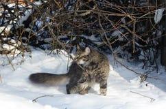 在冬景花园的年轻蓬松棕色猫嗅分支 免版税图库摄影