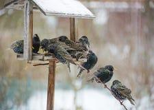 椋鸟在冬天 免版税库存照片