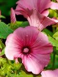 在冬葵的瓣的雨下落 库存图片