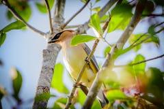 在冬青树栖息的黄连雀鸟 免版税库存照片