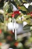 在冬青树的冰柱 免版税图库摄影