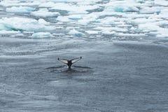 在冰之间的鲸鱼尾巴 免版税图库摄影