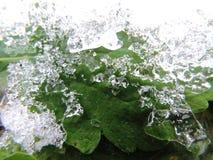 在冰冷的外壳下的绿色叶子 免版税库存图片