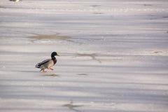 在冰冷的湖的一只鸭子野鸭 库存图片