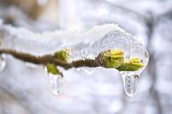 在冰冻结的结构树的芽 免版税库存照片