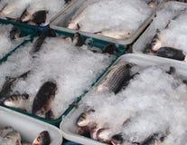 在冰包装的灰鲻鱼鱼 库存图片