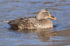 在冰南安普敦共同性的边缘的一只鸭子 免版税库存图片