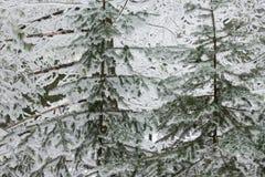 在冰和雪盖的树 库存照片