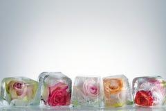 在冰块的冻玫瑰 免版税库存照片