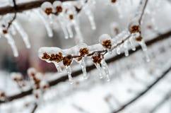 在冰复的芽在freesing雨以后 库存照片
