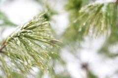 在冰小滴盖的美国五针松树 库存图片