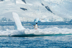 在冰山南极洲的Gentoo企鹅 免版税库存图片