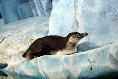 在冰山的一只企鹅 免版税库存图片