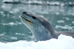 在冰山的豹子封印 免版税库存图片