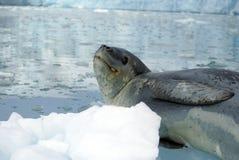 在冰山的豹子封印 库存照片