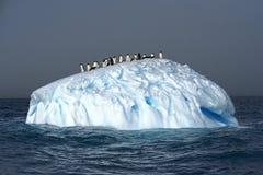 在冰山的Adelie企鹅,威德尔海, Anarctica 免版税图库摄影