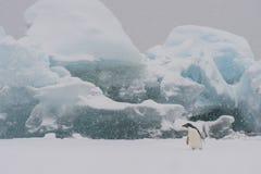 在冰山的Adelie企鹅 免版税库存照片