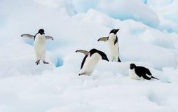 在冰山的Adelie企鹅 免版税库存图片